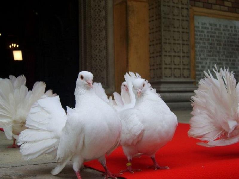 Porumbei de inchiriat