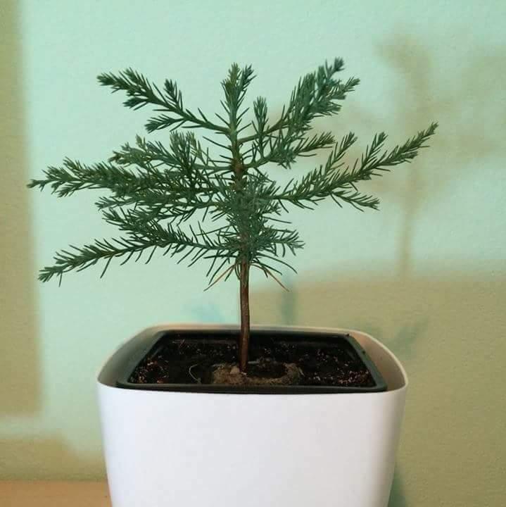 marturii pui arbore sequoia